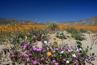 Wildflowers in Anza-Borrego Desert State Park | by slworking2