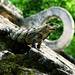 23.07.08 day 13 - Genus:Iguana