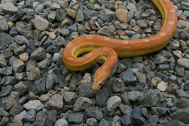 Caramel Motley Corn Snake Corn Snake Hypo Motley