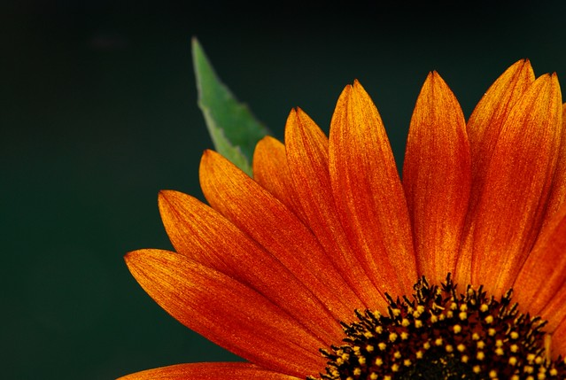 Burnt orange sunflower (Flower) | Please NO MULTI ...