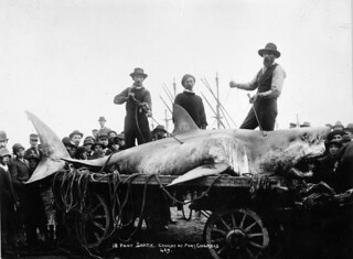 Shark caught at Port Chalmers, ca 1900 | by National Library NZ on The Commons