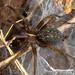 Aranha-de-lençol-de-cabeça-estreita // Funnel-web Spider (Lycosoides coarctata), female