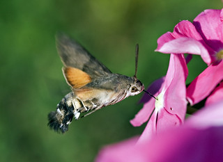 Hummingbird Hawk-moth | by kaibara87