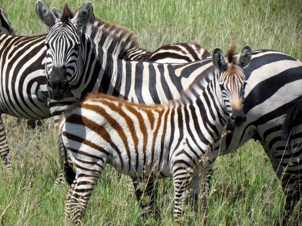 Zebra - Serengeti National Park safari - Tanzania, Africa ...