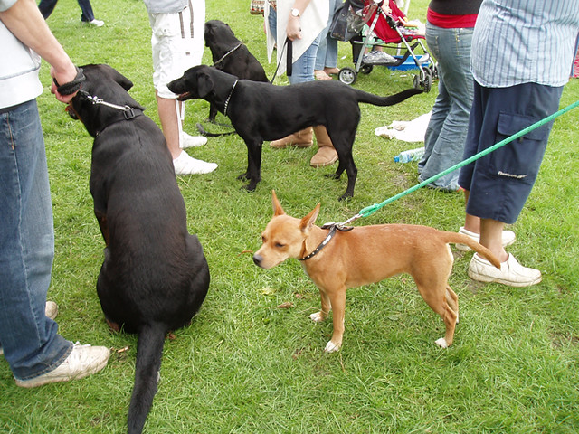 Rottweiler Dog Shows California