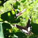Butterflies on the wing_Bulli NSW Aust