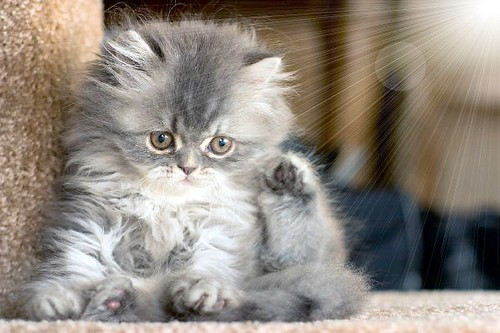 fluffy kitten | A cute...