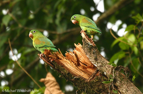 Orange-chinned Parakeets | by Michael Woodruff