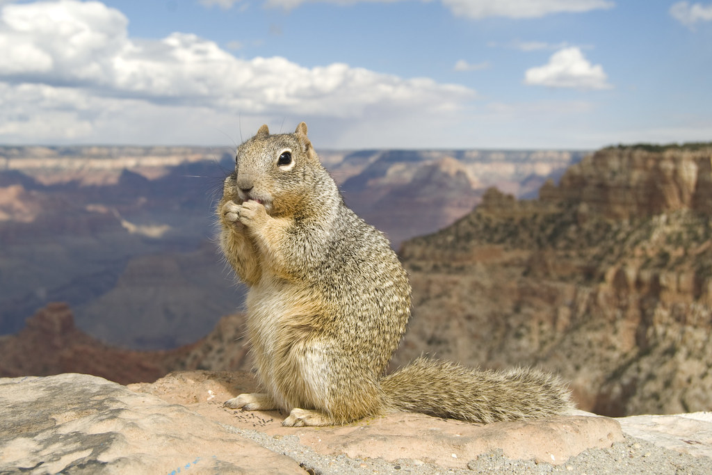 Grand Canyon Ground Squirrel Pictures 45