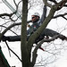 USDA inspects trees in Worcester, MA, for signs of the Asian Longhorned Beetle