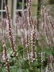 Persicaria amplexicaulis Rosea | by James's GW Blog
