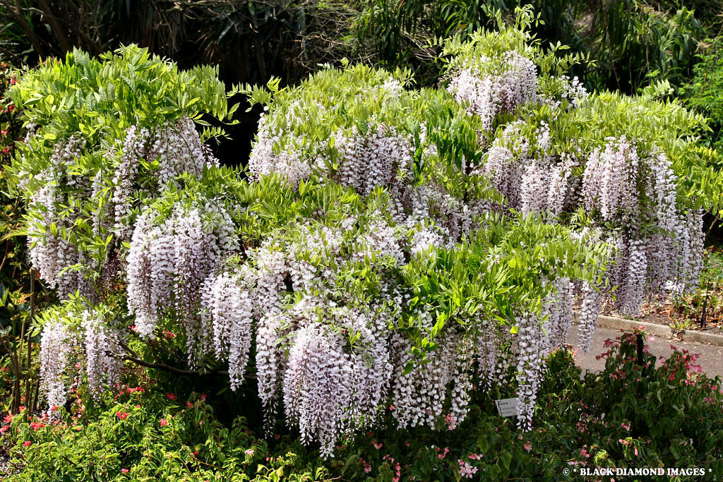 wisteria cv  u0026 39 white blue eyes u0026 39