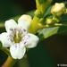 Mióporo // Ngaio Tree (Myoporum laetum)