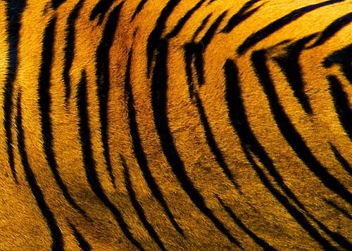 white tiger skin background - photo #38