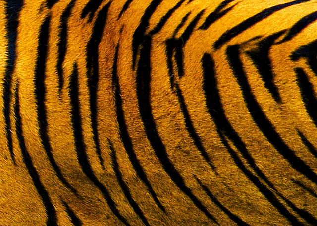tiger skin crazyc78 flickr
