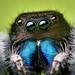 Adult Male Phidippus audax Jumping Spider
