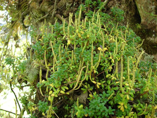 Peperomias cerca de papallacta jard n bot nico for Jardin botanico vina