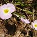 Baldélia-ranunculada // Lesser Waterplantain (Baldellia ranunculoides)