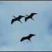 Glossy Ibis silhouettes - צלליות מגלן חום