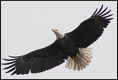 Bald Eagle in Flight | by mwaulk