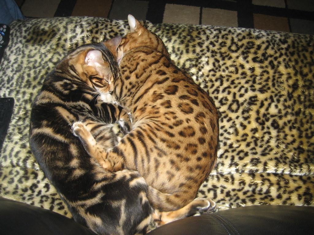 Biggest bengal cat in the world