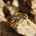 Abelha // Mason Bee (Osmia rufohirta), male