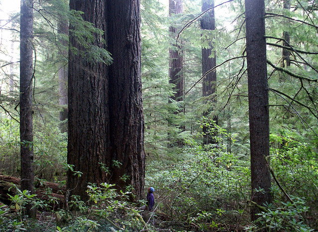 old growth forest in Coquille watershed, Oregon coast range