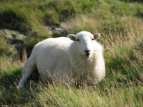 Welsh Sheep | by Nikki-ann