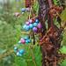 Porcelainberry, Ampelopsis brevipedunculata