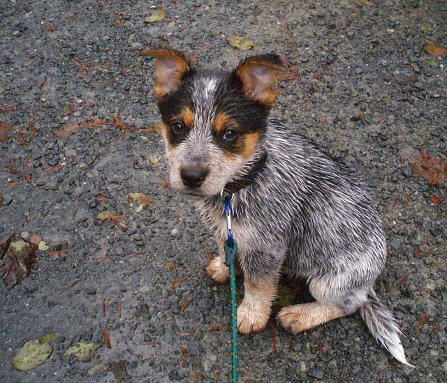 Blue Heeler Australian Shepherd Mix Puppies