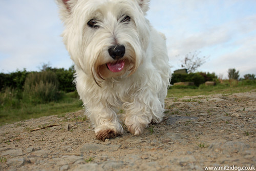 White Westie Dog For Sale Cardiff