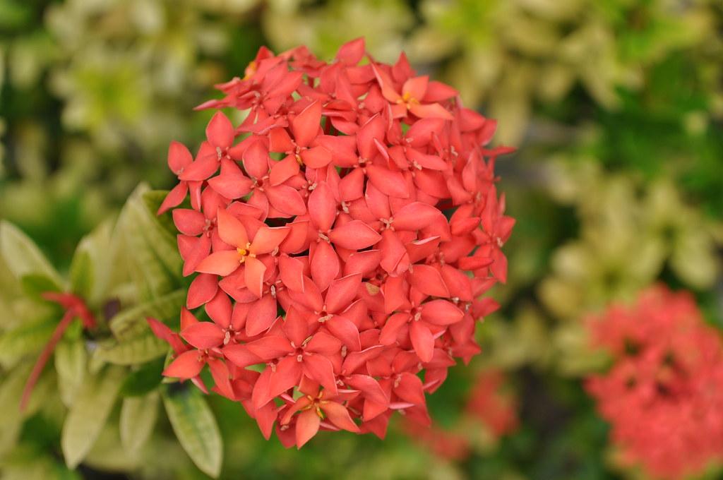 Santan flower | Wgraphix Nphotography | Flickr