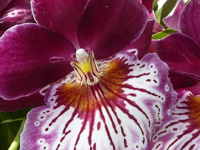 botanischer garten montreal orchidee franziska geiser flickr. Black Bedroom Furniture Sets. Home Design Ideas