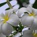 Frangipani in the rainy season