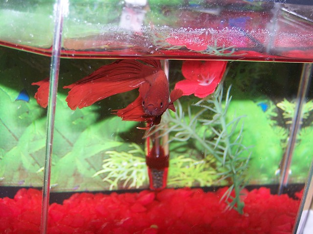 My Betta Fighting Fish Is Struggling To Eat Food
