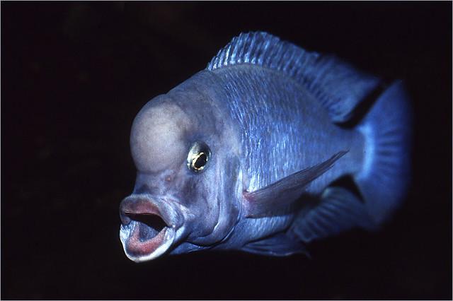 malawi blue dolphin cyrtocara moorii or by its old