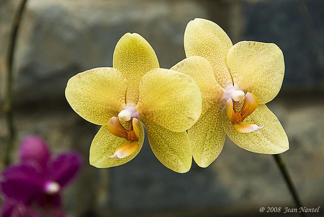 Phalaenopsis golden sands canary 060419 00 jean flickr