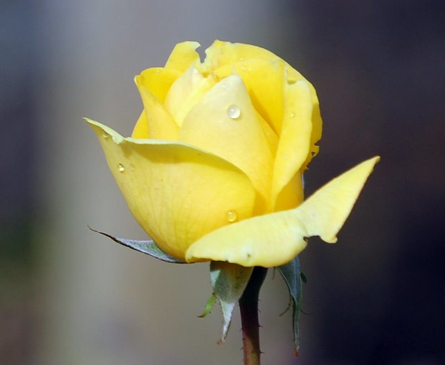 Yellow rose flower with rain drops michael flickr yellow rose flower with rain drops by coralhen4800 mightylinksfo