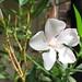 20080423 - Oleander - 2