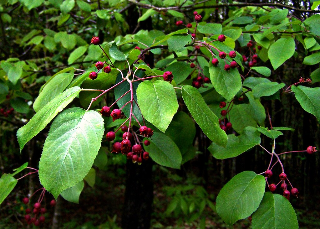 Rosaceae amelanchier arborea downy serviceberry commo for Serviceberry tree