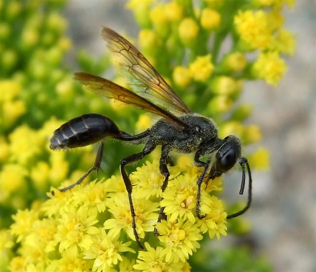 Isodontia mexicana   Order Hymenoptera - Ants, Bees, Wasps ...