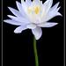 Flor de Lótus - Lotus Flower