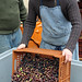 dumping olives before pressing