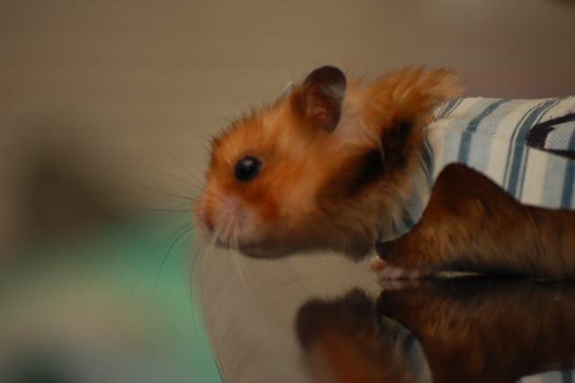Best Hamster Food Site Hamsterhideout Com
