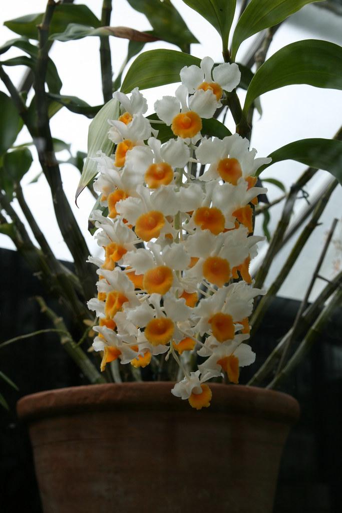Dendrobium Thyrsiflorum Large Orchid With An Impressive