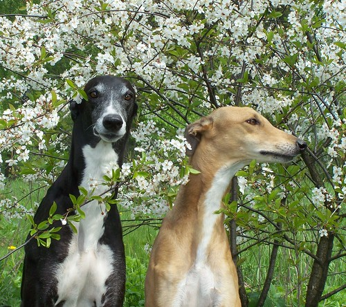 Greyhounds CH Tan Mandor and CH Scarlet Silk | by Polina Deul