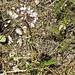 Allium cernuum NODDING WILD ONION