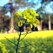 blooming Mustard
