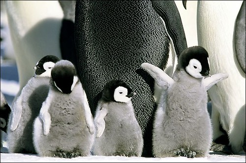 Baby Penguins | by buydogbeds