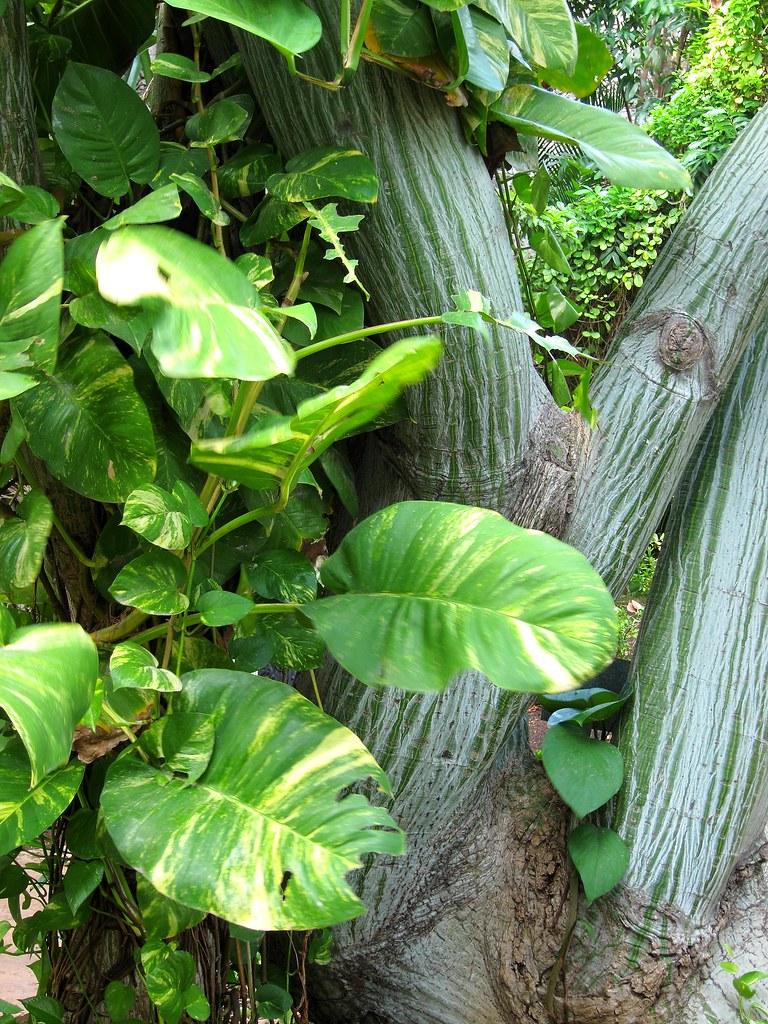 Sopo bombax ellipticum y planta tel fono philodendron i for Jardin botanico xmuch haltun